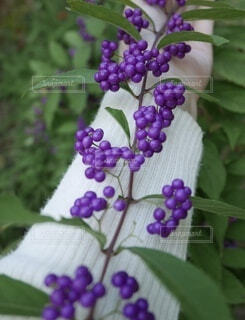 女性,公園,緑,植物,紫,お花,腕,手持ち,人物,セーター,ベリー,ムラサキ,お洒落,紫色,草木,おしゃれ,バイオレット