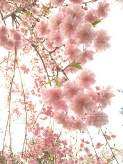 しだれ桜の写真・画像素材[1156441]