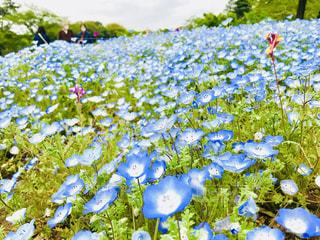 青い花畑の写真・画像素材[1134868]