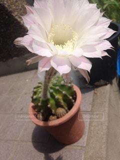 サボテンの花の花瓶の写真・画像素材[991956]