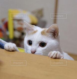 テーブルの上に座って猫の写真・画像素材[992398]