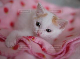赤い毛布の上に横になっている猫の写真・画像素材[992878]