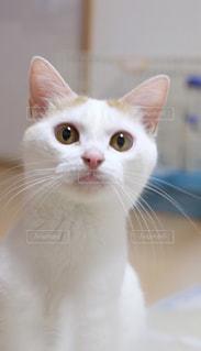 カメラを見てグレーと白猫 - No.992883