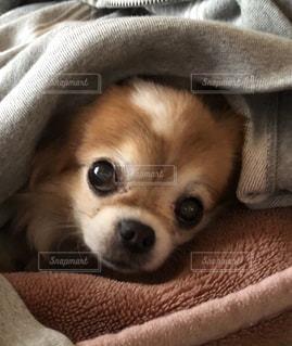 ベッドの上で横になっている小さな茶色と白犬の写真・画像素材[992886]