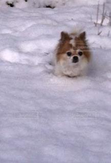雪で覆われている犬 - No.993166