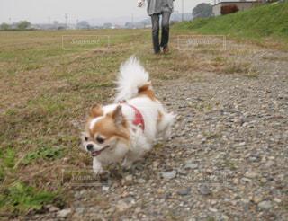 未舗装の道路を歩いて、茶色と白犬 - No.993192