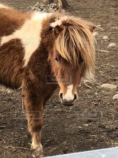 汚れフィールド上に茶色の馬立っての写真・画像素材[1154939]