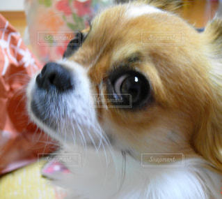 カメラを見て茶色と白犬の写真・画像素材[1212707]