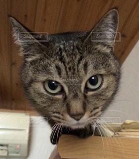 木製キャビネットの上に座っている猫の写真・画像素材[1213434]