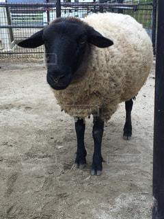 男前な黒い羊の写真・画像素材[992181]