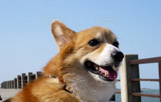 海望むコーギー犬の写真・画像素材[1004045]