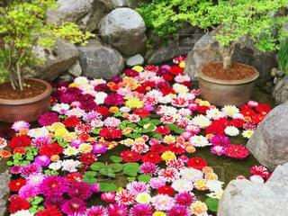 奈良の岡寺にて。ダリアのお花たち。の写真・画像素材[1157749]