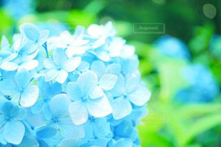花,植物,青,水色,紫陽花,梅雨,6月,アジサイ