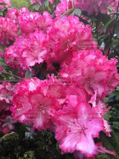 石楠花の写真・画像素材[1136220]