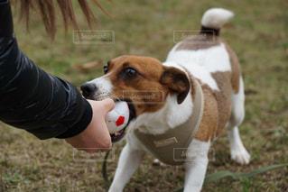茶色と白の犬の口の中でフリスビーで遊んでの写真・画像素材[1000428]