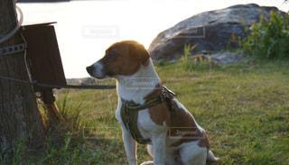 草の中に座っている茶色と白犬 - No.1000482