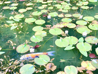 モネの池のスイレンの花の写真・画像素材[1371604]