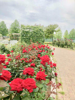 赤いバラの写真・画像素材[1371609]