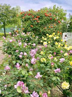 赤ピンク黄色のバラの写真・画像素材[1371612]