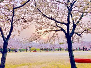 夕日と桜の写真・画像素材[1371616]