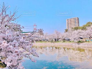 池と桜の写真・画像素材[1371622]