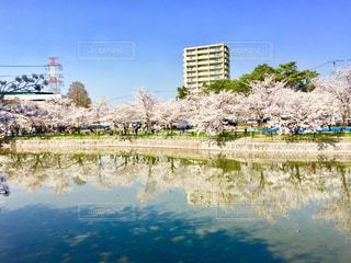 池と桜の写真・画像素材[1371631]