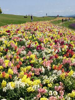 花,夏,カラフル,鮮やか,淡路島,花さじき