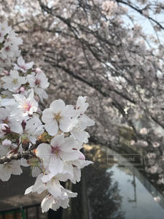 花,桜,花見