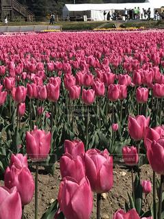 花,夏,ピンク,チューリップ