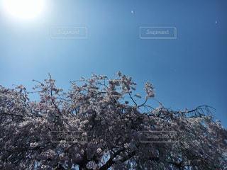桜満開の写真・画像素材[1096310]