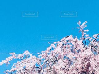 桜満開の写真・画像素材[1096318]