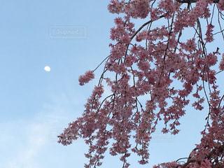 月と桜の写真・画像素材[1096369]