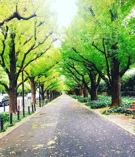 散歩,お出かけ,銀杏並木
