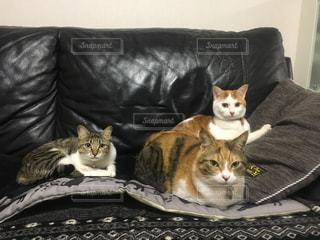 ソファーに集合している猫たちの写真・画像素材[1001826]