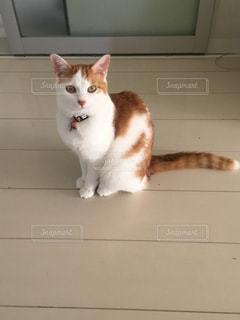 ミルク姿美人猫のの写真・画像素材[1001857]