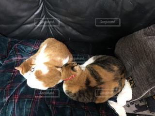 チェックのひざ掛けの上で仲良くお昼寝にゃんこの写真・画像素材[1633625]