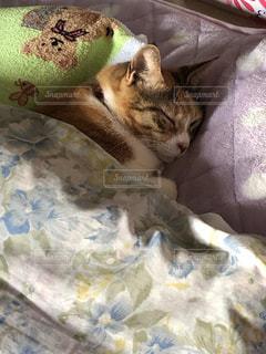 猫,動物,ペット,寝る,人物,毛布,寝具,ネコ,ネコ科の動物