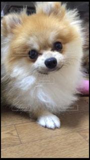 茶色と白犬狐の前に座っての写真・画像素材[1002615]
