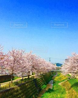 青空の下に桜満開 - No.1096836