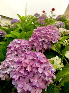 紫陽花の写真・画像素材[1232992]