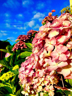 梅雨の晴れ間の紫陽花の写真・画像素材[1241476]