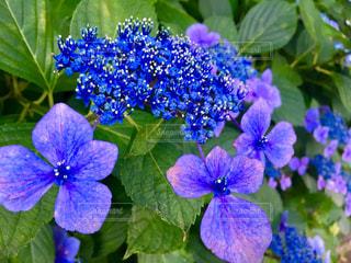 自然,花,紫陽花,梅雨