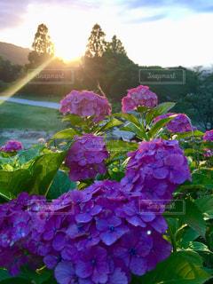 自然,花,紫陽花,夕陽,梅雨