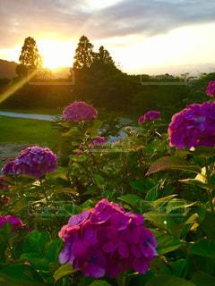 自然,空,花,紫陽花,夕陽,梅雨