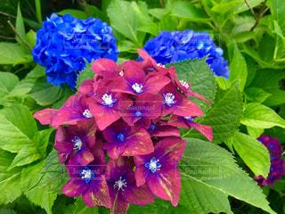 珍しい紫陽花の写真・画像素材[1246787]