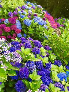色とりどりの紫陽花の写真・画像素材[1246790]