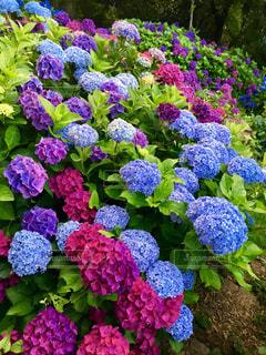 色とりどりの紫陽花の写真・画像素材[1246791]