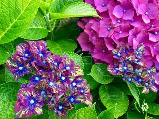 珍しい紫陽花の写真・画像素材[1246792]