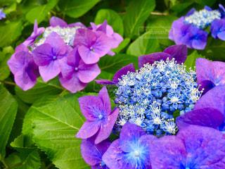 紫陽花の写真・画像素材[1246973]