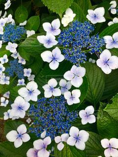 紫陽花の写真・画像素材[1246976]